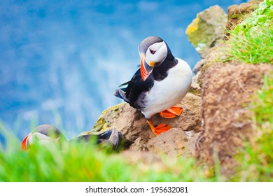 Beautiful vibrant picture of Atlantic Puffins on Latrabjarg cliffs - western-most part of Europe and Europe's largest bird cliff, Iceland