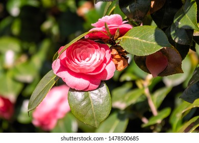 Beautiful vibrant pink camellia flowers. Japanese camellia, Camellia japonica, known as common, or tsubaki in Japanese, is one of the best known species of the genus Camellia.