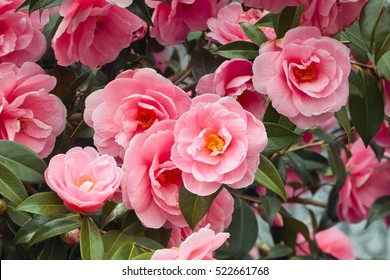 Beautiful vibrant pink Japanese Camellia flowers of (Camelia japonica)