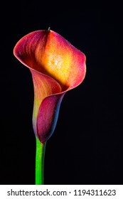 Beautiful vibrant purple, red, orange calla lily / arum lily (botanical: Zantedeschia aethiopica) shot against black background.