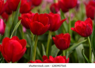 Beautiful vibrant red tulips flowers with raindrops in the field, nutural blurred background, close up