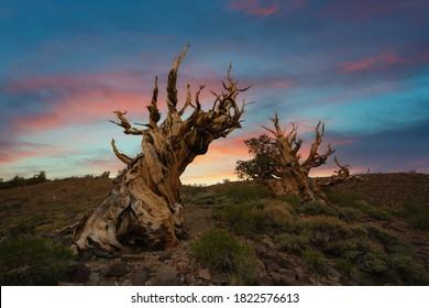 Beautiful vibrant sunrise with Ancient Bristlecone Pine Trees in California