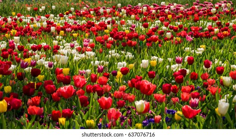 Beautiful vibrant tulips background in summer or spring day.