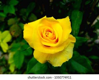 A beautiful and vibrant yellow rose.