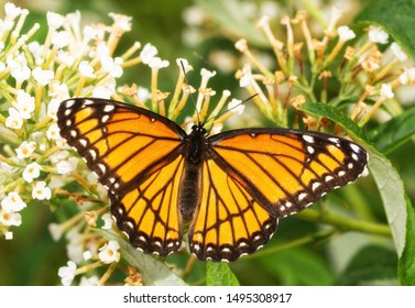 Beautiful Viceroy butterfly feeding on a Buddleia flower cluster in morning sunlight