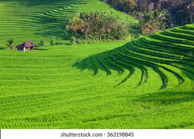 Beautiful view of Balinese green rice growing on tropical field terraces. Best scenic Asian backgrounds and landscapes, people culture and nature of Bali and Java islands, travel places in Indonesia