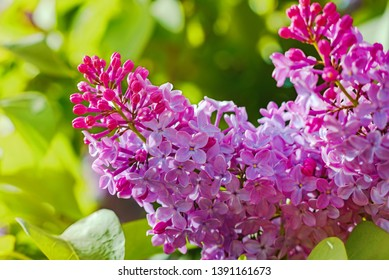 Beautiful view of blooming lilac Bush in the garden. Spring landscape with a bouquet of purple lilac flowers, close-up.