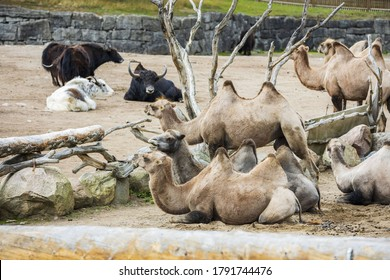 Beautiful view of camels and buffaloes in enclosure of Kolmarden Zoo, Sweden.