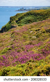 A beautiful view from Cap Frehel hills covered with yellow gorse and violet heather flowers on Fort La Latte. Brittany, France. Selective focus on the violet heather flowers.