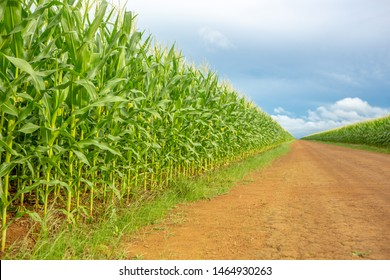 Beautiful view of Cornfield and dirt road in clear summer day. Agriculture and farm concept. Selective focus. Genetically modified and transgenic corn for export, produced in Mato Grosso, Brazil.