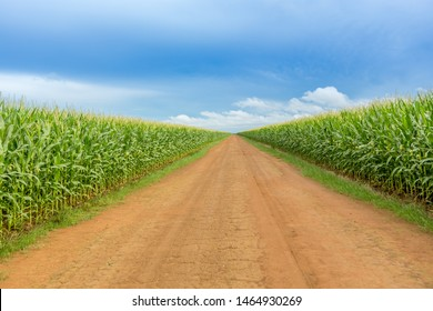 Beautiful view of Cornfield and dirt road in clear summer day. Agriculture, harvest and farm concept. Genetically modified and transgenic corn for export, produced in Mato Grosso, Brazil.
