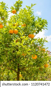 A beautiful view of delicious oranges in an orange orchid, in Sicily, Italy.
