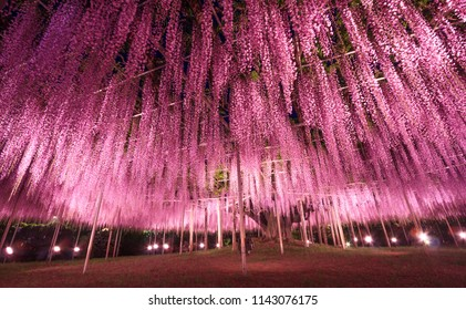 Beautiful view of Great purple pink wisteria trellis at night at Ashikaga Flower Park, Japan. Nature Travel, Natural Beauty, night light illumination with colorful blossoming flowers display concept.