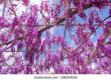 Beautiful view of Great purple pink wisteria blossom tree, Ashikaga, Tochigi,  Japan