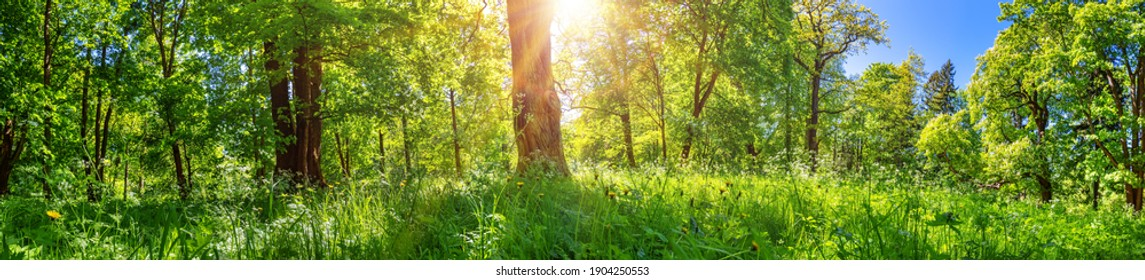 Beautiful view of the green spring forest. Fresh foliage in the woods in nature with beautiful sunlight