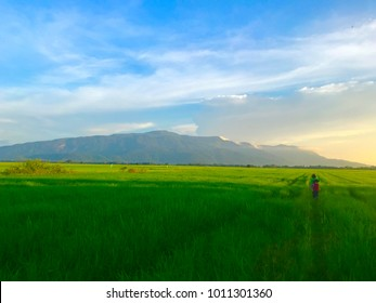 Beautiful view of gren paddy field