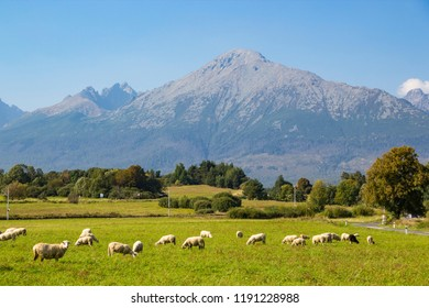 Beautiful view of High Tatras (Vysoke Tatry) mountains, and flock of sheep grazing in a green meadow, Slovakia