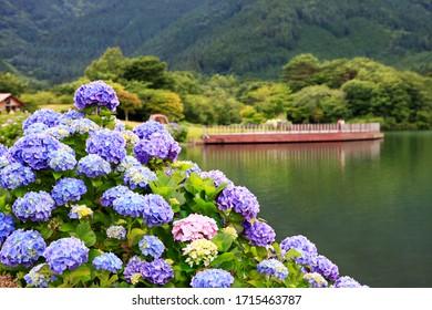 日本・静岡県田貫湖のアジサイの美しい眺めが前景に集中