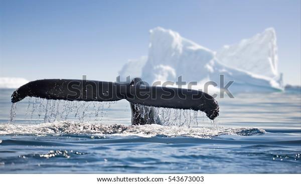 Belle vue sur les icebergs et les baleines en Antarctique