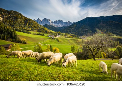 Beautiful view of idyllic mountain scenery in the Dolomites with famous Santa Maddelana mountain village and sheep grazing on green meadows, Val di Funes, South Tyrol, Italy