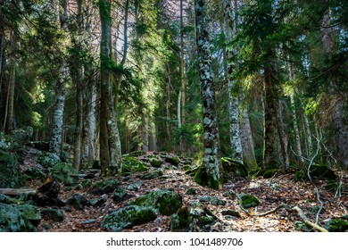 Beautiful view inside of pine forest