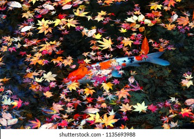Beautiful view of Japanese Koi Carp fish & colorful maple leaves in a lovely pond in a courtyard garden in Kyoto, Japan ~A vibrant image of Chinese Fancy Carp fish swimming merrily among fallen leaves