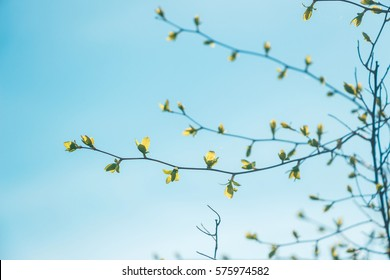 Beautiful view of light shining through young leaves. Sunny day. View from bottom up. Beautiful twigs with first small leaves against clear blue sky background. Space for your text. Early spring.