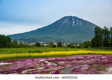 Beautiful view of Mishima's Shibazakura garden and Mount Yotei, Kutchan, Hokkaido Prefecture, Japan
