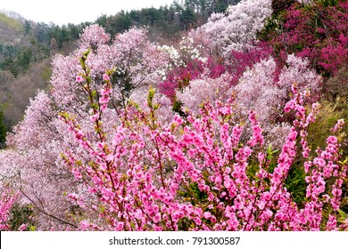 Beautiful pink flowers on trees ez canvas beautiful view of multicolor flowering trees at hanamiyama mountain of flowers park in fukushima mightylinksfo