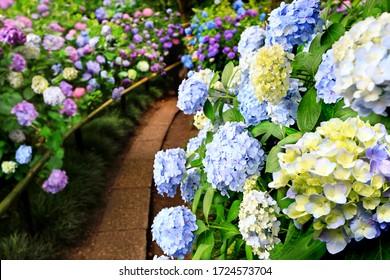 日本奈良・矢田寺の多彩色のあじさいの花(あじさい)の美しい眺めが前景に集中