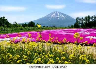 Beautiful view of mustard flowers and colorful pink moss (Shibazakura, Phlox Subulata) with Mount Yotei (Mt. Fuji Hokkaido) at Mishima's Shibazakura garden in Kutchan town, Hokkaido, Japan