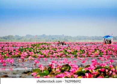 Beautiful view nature landscape of Red Lotus Sea in the morning with fog and soft light and clear blue sky background at thailand. Soft focus and selection focus.Red Lotus sea(lake) Thailand.