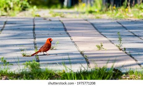 Beautiful view of a Northern Cardinal (Cardinalis cardinalis)