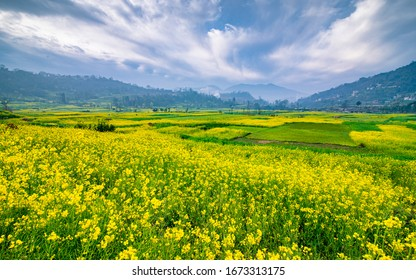 beautiful view os Spring season Blosom mustered at Kathmandu, Nepal.