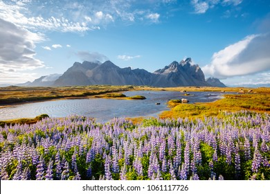 Beautiful view of perfect lupine flowers on sunny day. Location Stokksnes cape, Vestrahorn (Batman Mount), Iceland, Europe. Wonderful image of amazing nature landscape. Discover the beauty of earth.
