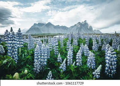 Beautiful view of perfect lupine flowers on sunny day. Location Stokksnes cape, Vestrahorn (Batman Mount), Iceland, Europe. Wonderful image of summer nature landscape. Discover the beauty of earth.