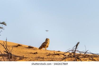 beautiful view of Pharaoh eagle-owl sitting on the sand, abudhabi uae