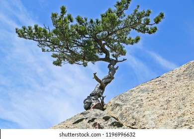 Beautiful view of pine tree growing in the crevice of granite rock in huashan national park shaanxi China