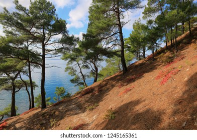 Beautiful view of the pines growing on the slope by the sea