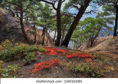 Beautiful view of the pines and plants of red skumpii growing on the slope by the sea