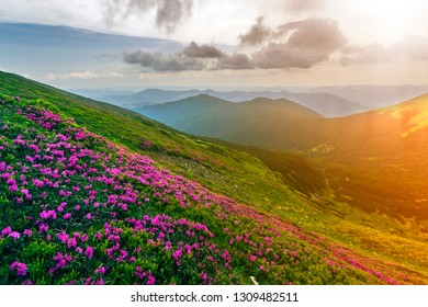 Beautiful view of pink rhododendron rue flowers blooming on mountain slope with foggy hills with green grass and Carpathian mountains in distance with dramatic clouds sky. Beauty of nature concept.
