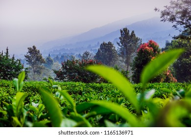 Beautiful View of Puncak, West Java Tea Plantation after sunrise with foggy mountain layer as a background