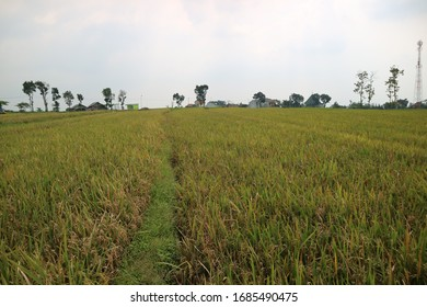 Beautiful view of rice field in Indonesia