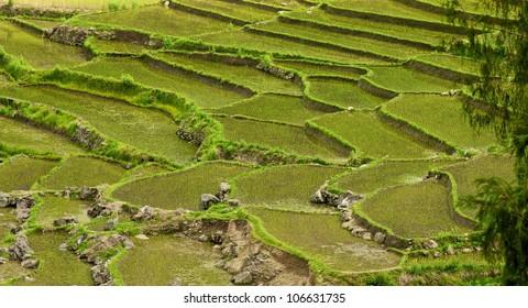Beautiful view of Rice fields, Bhutan