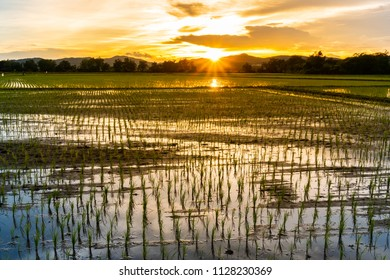 Beautiful view of rice paddy field during sunset