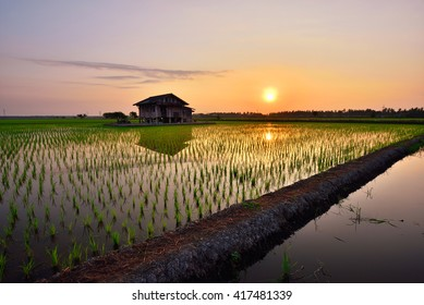 Beautiful view of rice paddy field during sunrise in Malaysia. Nature composition