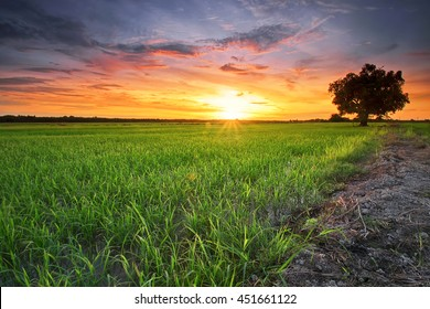 Beautiful view of rice paddy field during sunset in Malaysia. Nature composition