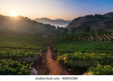 The beautiful view of strawberry plantation in the morning at Ban Nor Lae, Doi Ang Khang, Chaingmai, Thailand.