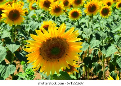 Beautiful view of sunflowers in the countryside