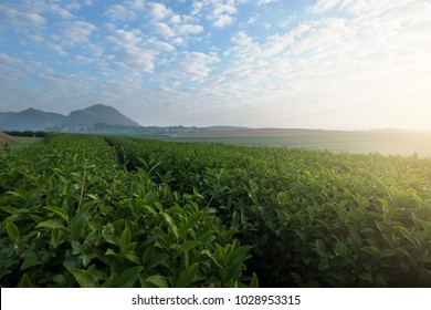 Beautiful view of Tea plantation in Chiang Rai, Thailand.